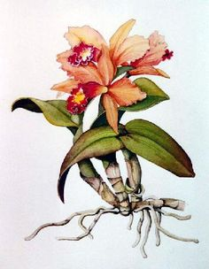 """""""Cattleya - Uprooted"""" watercolor © Siv Spurgeon (sold)"""