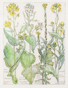 1910 botanische Print door H. Isabel Adams: kool door PaperPopinjay