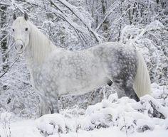 grey dapple horse - Google Search