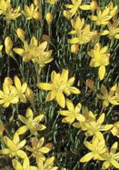 Zephyranthes citrina (yellow rain lily) | From Old House Gardens