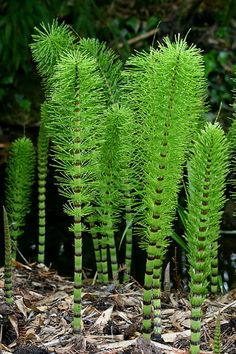 Common Name: Equisetum or Horsetail Genus Name: Equisetum Form Category: Line Planta Vascular, Vascular Plant, Healing Herbs, Medicinal Plants, Echeveria, Organic Gardening, Gardening Tips, Bonsai, Snake In The Grass