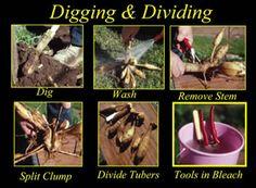 Growing Dahlias | how to grow Dahlias | Helpful tips on dahlia growing |