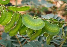 <i>Senna italica italica</i> seed pods Seed Pods, Hair Loss Treatment, Beauty Hacks, Beauty Tips, Health And Beauty, Plant Leaves, Amazing, Plants, Pharmacy