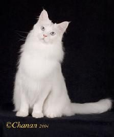 Winifred blue eyed white Maine Coon Cat. I have one of these too!