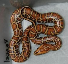 The Burmese Python Morph List - Reptile Forums Burmese Python, Animals Of The World, Small Animals, Corn Snake, Beautiful Snakes, Reptiles And Amphibians, Exotic Pets, Albino, Jacket Men