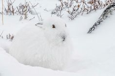 Arctic Hare, Canada Arctic Hare, Rabbit, Canada, Animals, Bunny, Rabbits, Animales, Animaux, Bunnies