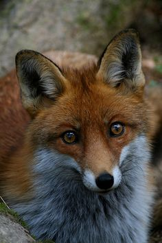 Mysteries In Foxworth Village - Red Fox by serpensz Fox Eyes, Fox Face, Pretty Animals, Cute Animals, Fox Images, Fox Pictures, Fabulous Fox, Foxes Photography, Fox Girl