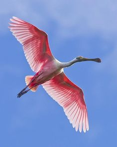 Roseate Spoonbill in flight- I mean, who wouldn't love a pink bird? <3 You can find these on the east coast of Texas... when you find a flock it's awesome