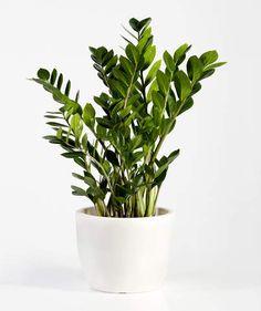 14 Hardy Houseplants That Will Survive the Winter In a Low-Light Room: ZZ Plant Zz Plant, Winter Plants, Winter Garden, Decoration Plante, Inside Plants, Bedroom Plants, Low Lights, Houseplants, Indoor Plants