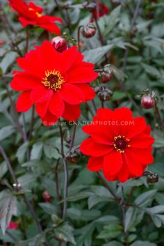 Dahlia - striking red and deep colored leaves