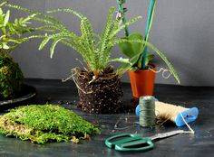 """A Little Eye Candy for Your Window~""""Hanging Plants in Moss""""~. Remove some soil and trim the roots of your plant. Now, cover with 'moss & waxed twine'.  See other pic"""