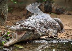 Een van de onechte gavialen van Artis met de bek wijd geopend. Foto Artis Edwin Butter