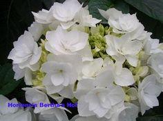 Hydrangea macrophylla 'Coco'