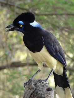 gralha-picaça_Cyanocorax chrysops_Brazilian Birds