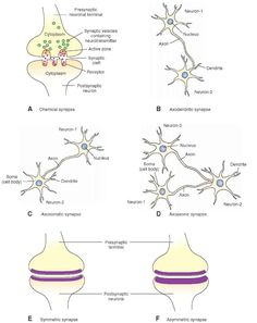 Morphology of a chemical synapse. (A) The presynaptic terminal and postsynaptic neuron are separated by a fluid-filled synaptic cleft. Note that the presynaptic terminal contains synaptic vesicles, which contain neurotransmitter and active zones. Receptors for the transmitter are located on the postsynaptic membrane. Different types of central nervous system synapses include (B) axodendritic synapse, (C) axosomatic synapse, and (D) axoaxonic synapse. (E) In a symmetrical synapse, the…