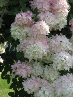 Hydrangeas delicate blooms