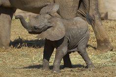 Adorable elephant calf at the Safari Park