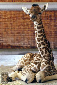 Dallas Zoo Home to Famous Giraffe Calf