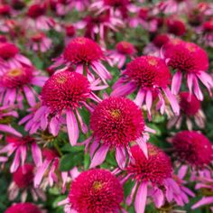Spring Hill Nurseries Double Scoop Bubble Gum Coneflower (Echinacea), Live Bareroot Perennial Plant, Pink Flowers - The Home Depot Bulb Flowers, Love Flowers, Dried Flowers, Beautiful Flowers, Hot Pink Flowers, Dahlia Flower, Spring Hill Nursery, Sun Perennials, Annual Flowers