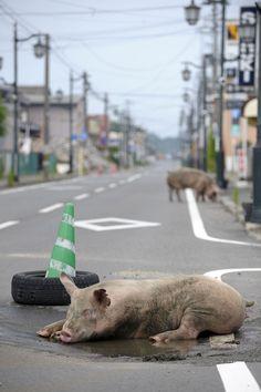 Yasusuke Ota - Namie Machi (pigs)