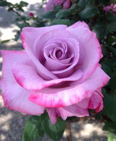Hermoso color Lila