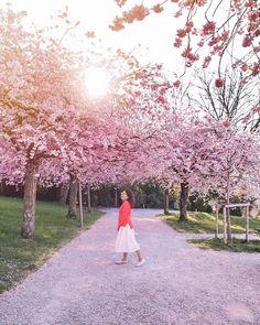 Cherry blossoms in Switzerland, Lausanne. Located just behind Musée de l'Elysée.
