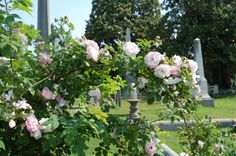 The roses at Hollywood have a fascinating history of their own. Each year, rose experts work together with the cemetery to preserve these beauties.