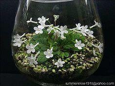 Sinningia 'White Sprite' (summersnow1216) Tags: plant flower gesneriaceae gesneriad sinningia