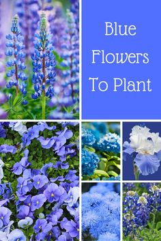 Blue flowers to plant in your yard and garden Do you want to plant blue flowers Here is a great list of blue flowers that includes the common name botanical name growing zones and images Find the right flowers for you your home lawn and garden here Flower Garden Plans, Garden Yard Ideas, Blue Lotus Flower, Blue Flowers, Beautiful Flowers Garden, Beautiful Gardens, Flowers Perennials, Planting Flowers, Flower Gardening