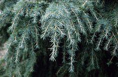 Find help & information on Cedrus deodara 'Feelin' Blue' deodar 'Feelin' Blue' from the RHS Cedrus Deodara, Blue Leaves, Garden Plants, Gardening, Lawn And Garden, Horticulture