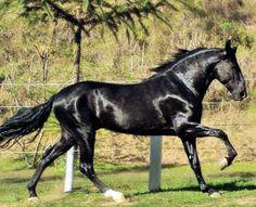 Black Campolina stallion Ofício da Água Santa at liberty.