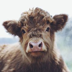 Yesterday I had a dream that I was in a car with my friends, and I looked out to the right and we drove past a little farm with these super adorable fluffy cows! Cute Baby Cow, Cute Cows, Baby Cows, Cute Babies, Farm Animals, Animals And Pets, Funny Animals, Fluffy Cows, Mini Cows