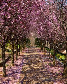 Cherry Blossom Photography Nature by IllustrationsByMark on Etsy
