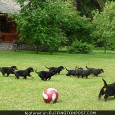 A whole litter of Rottweiler pups coursing across the grass. Would you run with these rotties? Rottweiler Pictures, Rottweiler Love, Best Dog Food, Best Dogs, Rottweiler Breeders, Dog Treat Toys, Moms Best Friend, Dog Pee, Best Dog Training