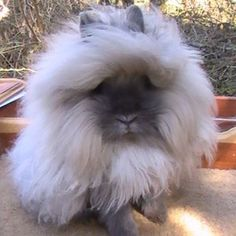 ... about Lionhead Rabbit on Pinterest | Rabbits, Bunny and Rabbit Hutches