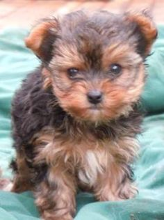 I will have one of these someday! :) Adorable yorkiepoo puppie!!