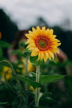 Beautiful Flowers, Dandelion, Plants, Flowers, Art, Kunst, Dandelions, Plant, Taraxacum Officinale