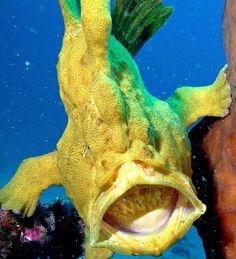 frogfish_yawn1