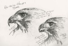 ...a drawing from my sketchbook of a Red-tailed Hawk's beak. Note that the  hawk's beak lacks the extra notch found in the falcon's.