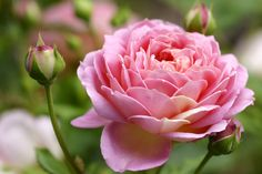 Organic Trick For The Most Beautiful, Colorful, Bountiful Roses That Will Make Your Neighbors Jealous