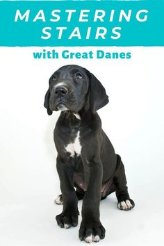 As a giant breed it's important to teach your Great Dane puppy how to go up and down stairs from an early age. Teach them now before they get too big to carry! Black Lab Puppies, Dane Puppies, Socializing Dogs, Teething Relief, Dog Grooming Business, Great Dane Puppy, Aggressive Dog, Large Dog Breeds, Pet Life