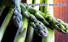 Como plantar aspargo #hortas #plantação #dicas #comofazer