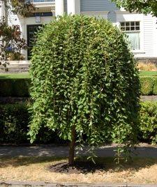 Dwarf Weeping Willow 6'-10' Salix caprea pendula