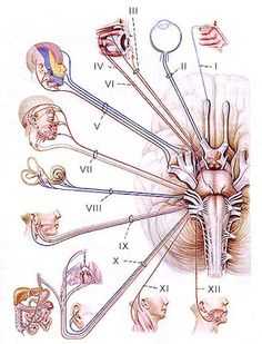 Cranial Nerves Mnemonics for Medical Students   Pinoy MD