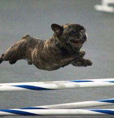 French Bulldog Jumping Hurdles. Run Forrest, Run! He looks like the flying torpedo