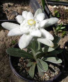 Цветок Эдельвейс Эхо