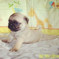 "Outstanding ""pug puppies"" info is available on our internet site. Read more and you wont be sorry you did. Pug Love, I Love Dogs, Game Mode, Pugs And Kisses, Baby Pugs, Cute Pugs, Cute Little Animals, Dogs And Puppies, Doggies"