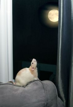 Rat - lovely photo. That looks like Marty Mouse