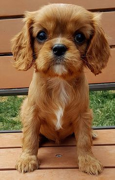 Ruby Cavalier King Charles Spaniel Puppies For Sale Cavalier