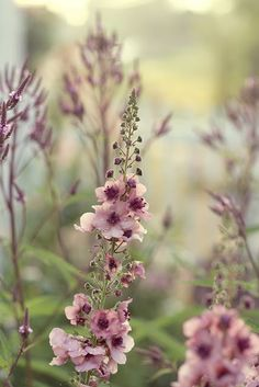 Kongslys (Verbascum - Southern charm) + Verbena hastata
